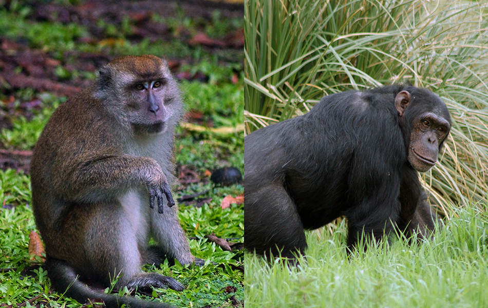 Differences Between Ape And Monkey
