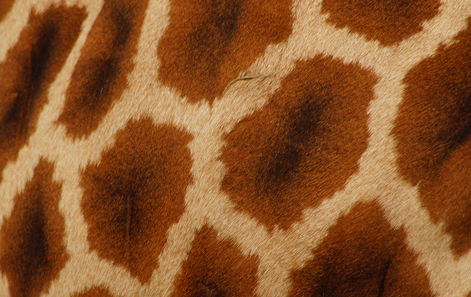 Aninimal Book: Giraffe hearts compromise quantity for quality | Curious ...